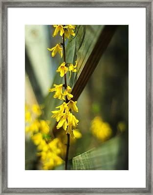 Fenceside Forsythia Framed Print by Rebecca Sherman