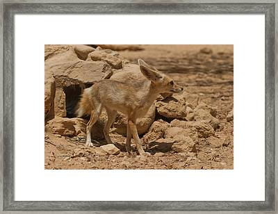 Fennec Fox Framed Print by Photostock-israel