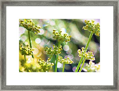 Fennel Morning Dew Framed Print by Rebeka Dove