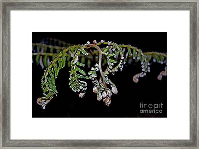 Fern Opening Up Framed Print by Jim Fitzpatrick