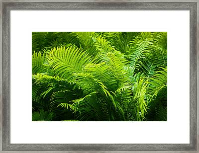 Ferns 1 Framed Print
