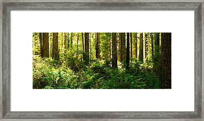 Ferns And Redwood Trees In A Forest Framed Print