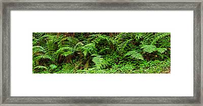Ferns In Front Of Redwood Trees Framed Print by Panoramic Images