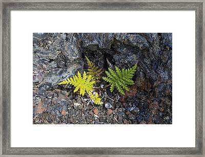 Ferns In Volcanic Rock Framed Print