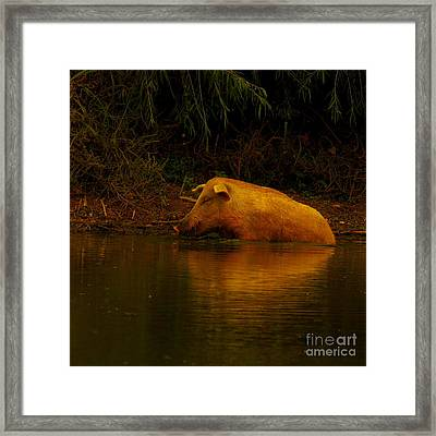 Ferrell Hog At Sunrise Framed Print by Robert Frederick