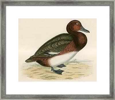 Ferruginous Duck Framed Print by Beverley R Morris