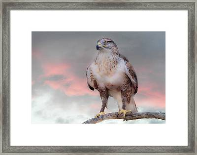 Ferruginous Hawk At Dusk Framed Print