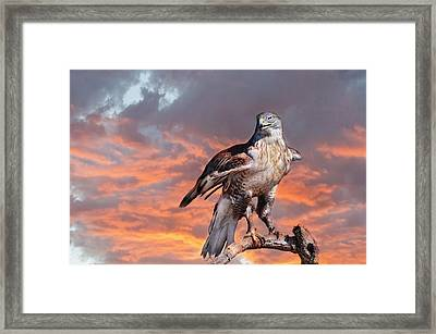 Ferruginous Hawk Framed Print