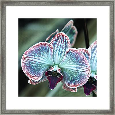 Festive Orchid Framed Print by William Dey
