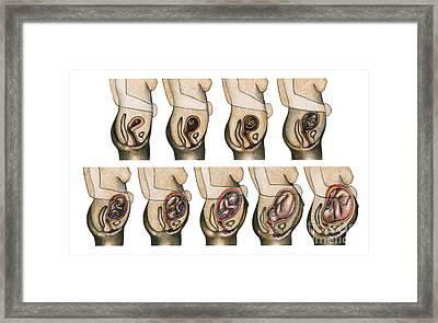 Fetal Development Framed Print by Gwen Shockey