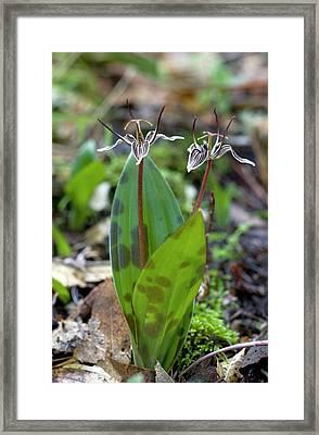 Fetid Adderstongue (scoliopus Bigelovii) Framed Print by Bob Gibbons