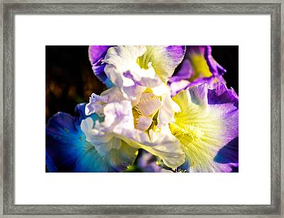 Fickle Iris  Framed Print