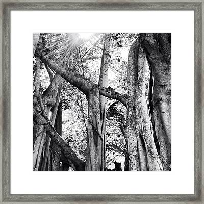 Ficus Altissima In Black And White Framed Print by K Simmons Luna