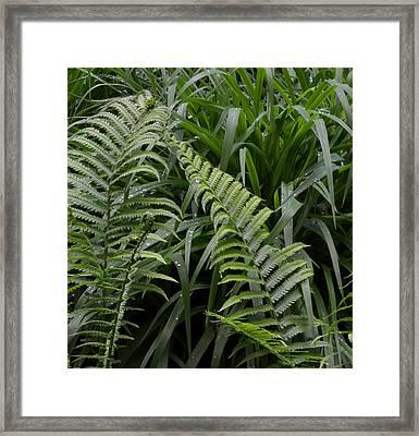 Fiddle Head Ferns  Framed Print by Lyle Crump