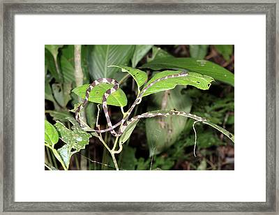 Fiddle-string Snake Framed Print