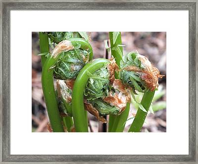 Fiddleheads In Spring Framed Print