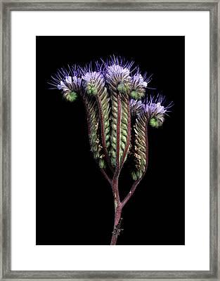 Fiddleneck (phacelia Tanacetifolia) Framed Print