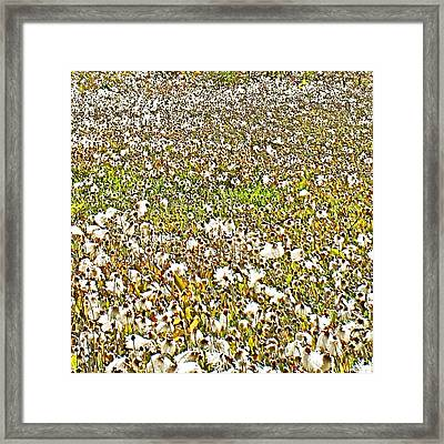 Field Of Arctic Cotton Along Cassiar Highway-british Columbia  Framed Print by Ruth Hager