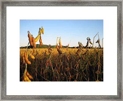 Field Of Beans Framed Print by Christopher Purcell