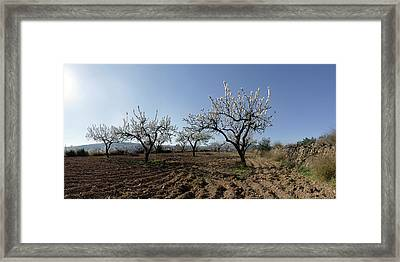Field Of Blooming Almond Trees Framed Print by Panoramic Images