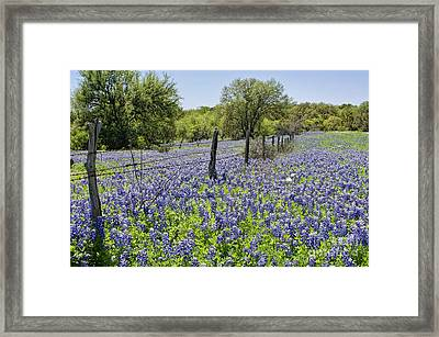 Field Of Bluebonnets Framed Print
