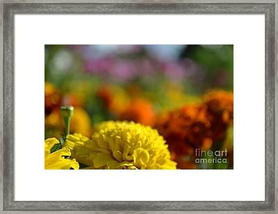 Framed Print featuring the photograph Field Of Carnations by Scott Lyons