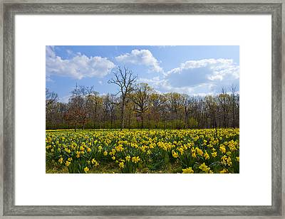Field Of Daffodils At The Morton Arboretum Framed Print by Ed Cilley