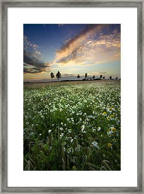 Field Of Daisies Framed Print by Debra and Dave Vanderlaan