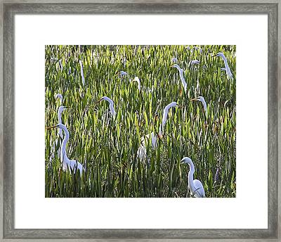 Field Of Egrets Framed Print