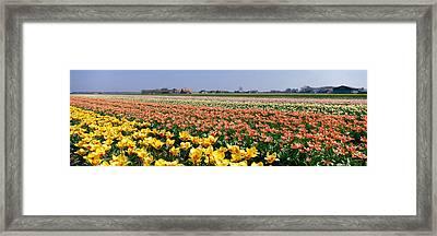 Field Of Flowers, Egmond, Netherlands Framed Print