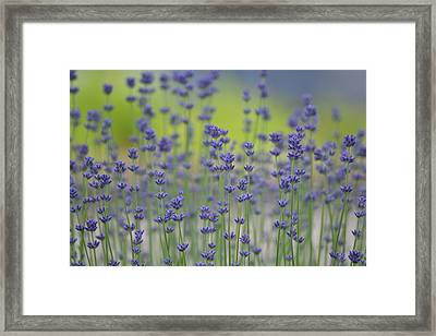 Field Of Lavender Flowers Framed Print by P S