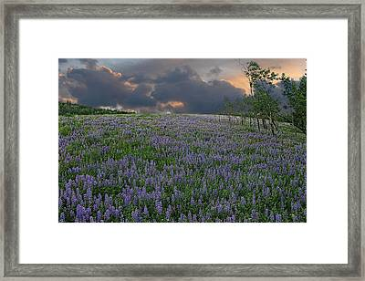 Field Of Lupine Framed Print