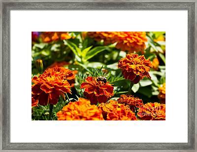 Field Of Marigolds Framed Print
