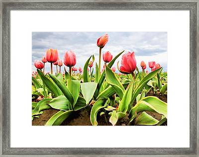 Field Of Pink Tulips Framed Print by Athena Mckinzie