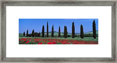 Field Of Poppies And Cypresses In A Framed Print by Panoramic Images