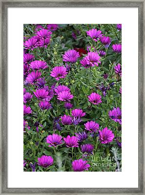 Framed Print featuring the photograph Field Of Purple by Ruth Jolly