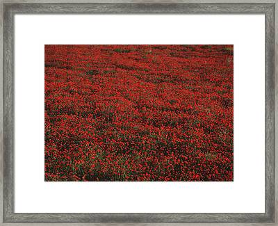 Field Of Red Poppies Framed Print by Ian Cumming