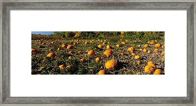 Field Of Ripe Pumpkins, Kent County Framed Print by Panoramic Images