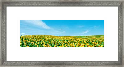 Field Of Sunflower With Blue Sky Framed Print by Panoramic Images