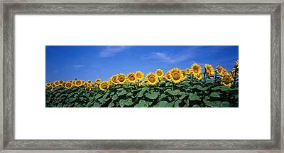 Field Of Sunflowers, Bogue, Kansas, Usa Framed Print