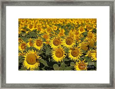 Field Of Sunflowers Framed Print by Brian Jannsen