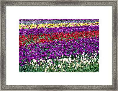 Field Of Tulips Framed Print