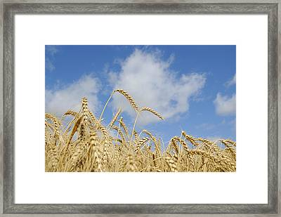 Field Of Wheat Framed Print by Charles Beeler