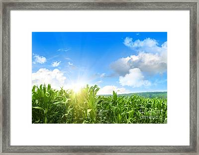 Field Of Young Corn Growing Against Blue Sky Framed Print by Sandra Cunningham