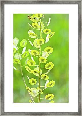 Field Penny-cress (thlaspi Arvense) Seeds Framed Print