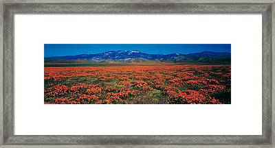 Field, Poppy Flowers, Antelope Valley Framed Print by Panoramic Images