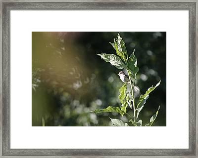 Field Sparrow Framed Print by Melinda Fawver