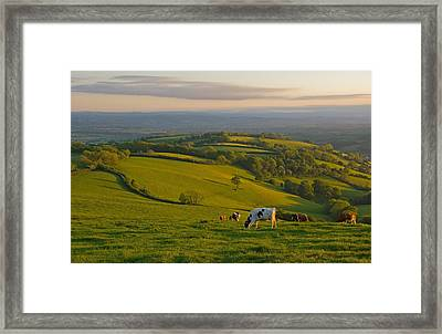 Fields And Cows In Devon Framed Print
