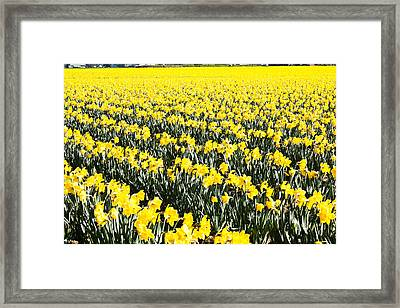 Fields Of Daffodils  Framed Print