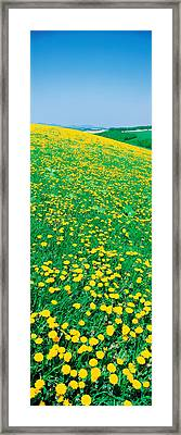 Fields Of Dandelions Hokkaido Biei-cho Framed Print by Panoramic Images